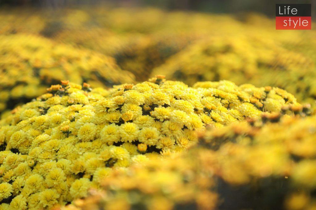 """Ngắm """"bản giao hưởng Hoa Tết"""" tại làng hoa đẹp nhất miền Tây ảnh 15"""