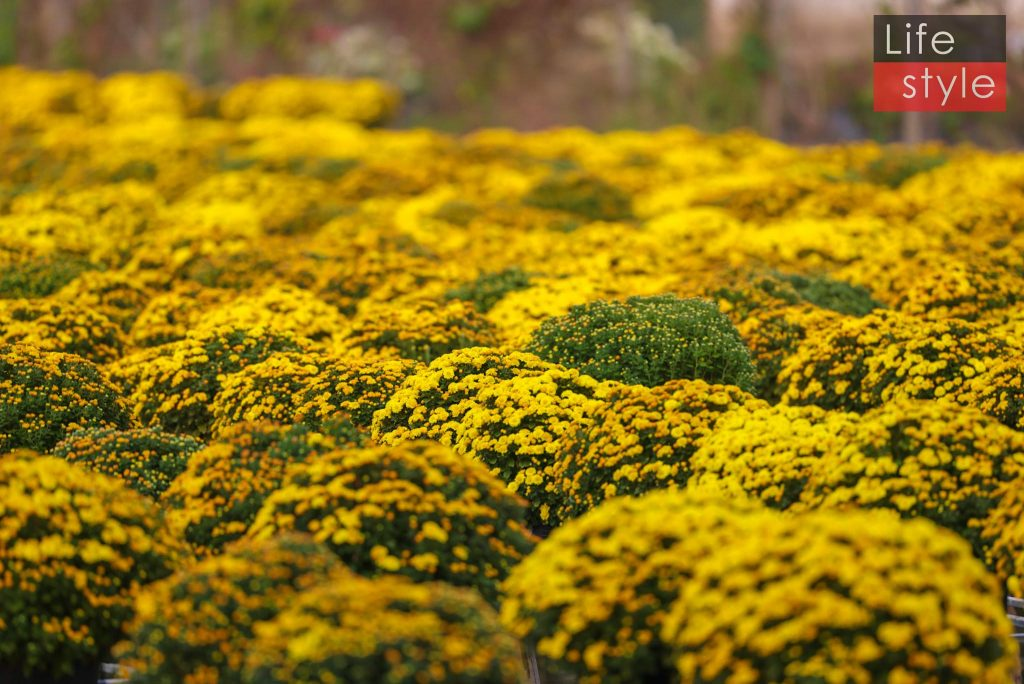 """Ngắm """"bản giao hưởng Hoa Tết"""" tại làng hoa đẹp nhất miền Tây ảnh 3"""