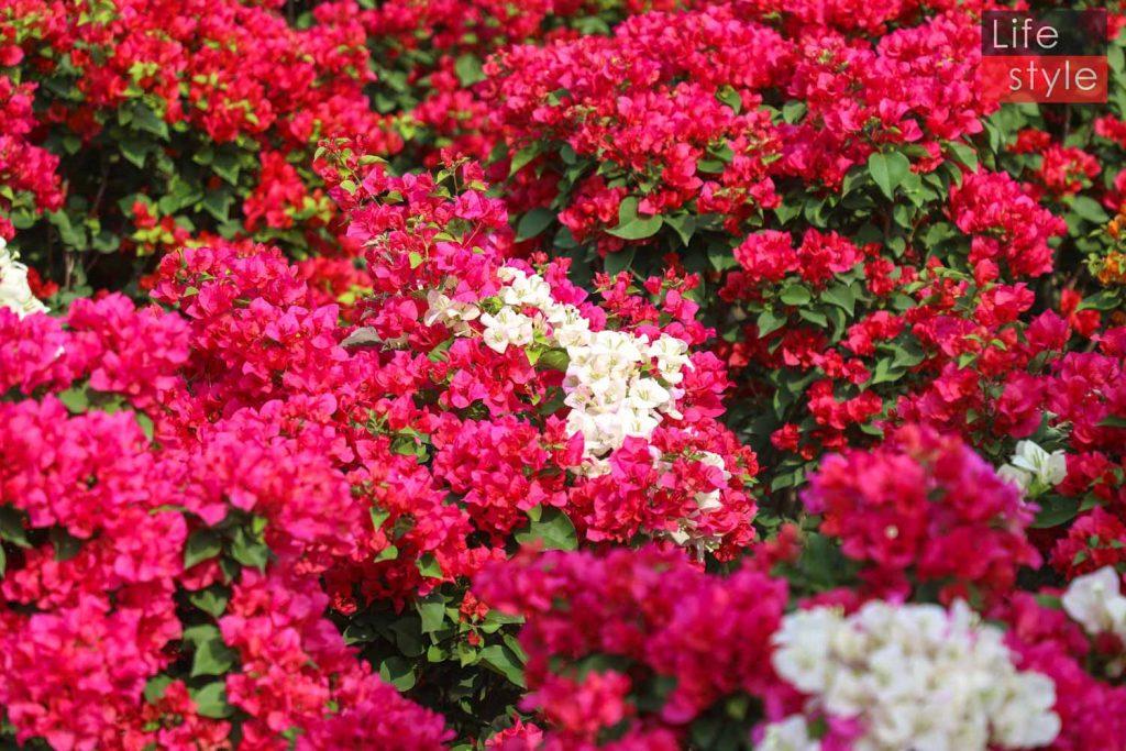 """Ngắm """"bản giao hưởng Hoa Tết"""" tại làng hoa đẹp nhất miền Tây ảnh 7"""