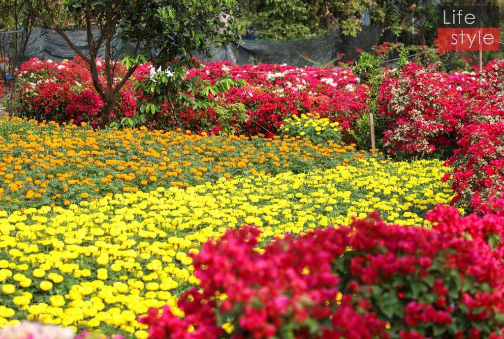"""Ngắm """"bản giao hưởng Hoa Tết"""" tại làng hoa đẹp nhất miền Tây ảnh 8"""